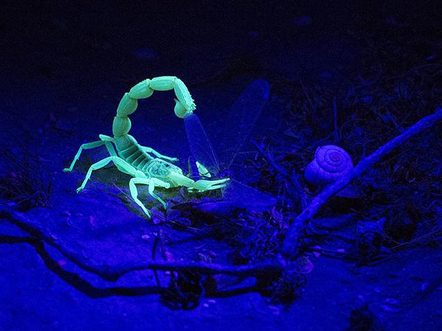 A yellow scorpion eats his prey as it glows in the dark near Sde Boker in the Negev Desert, Israel | image byUriel Sinai