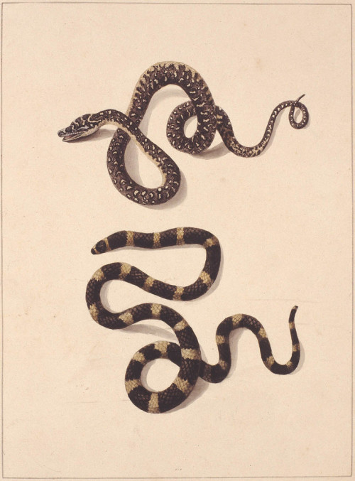 An early colonial watercolour painting of two Australian snakes, the Diamond Python and Stephen's banded snake. ca. 1790.