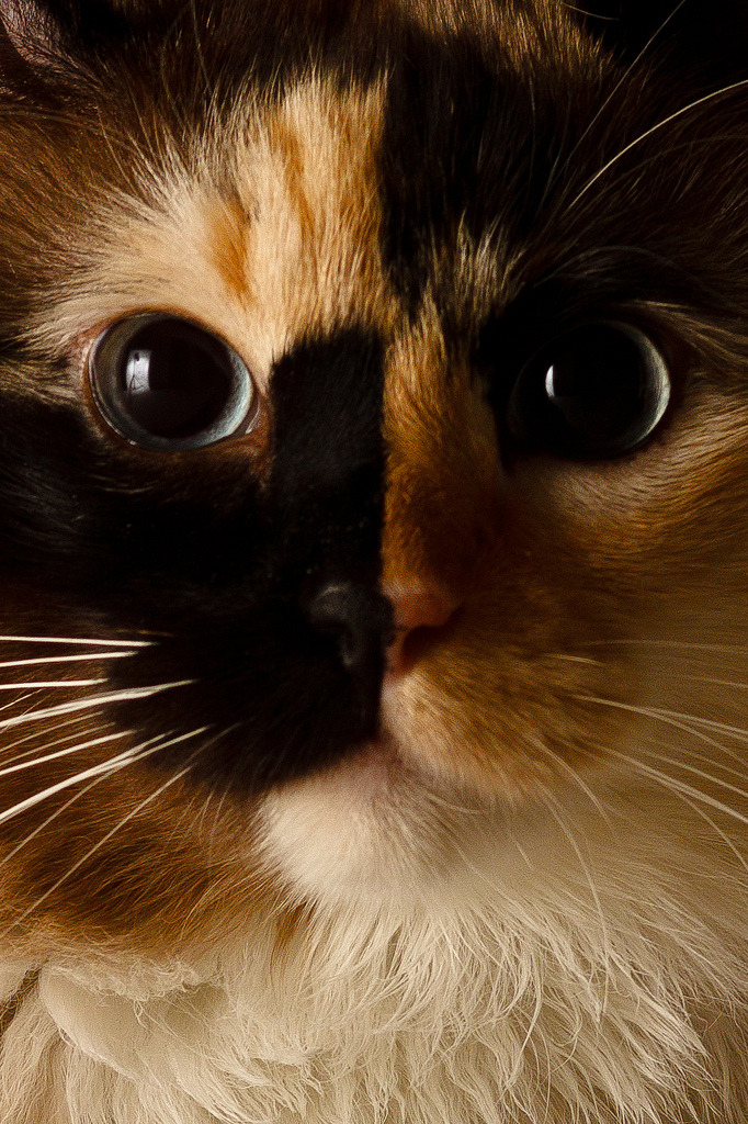 mostlycatsmostly:  Close Up Topaz (by E V Peters)
