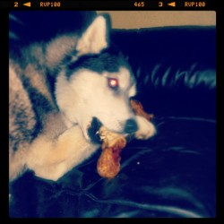 I gnaw therefore I wolf… #BADog