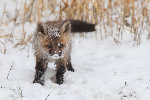 Fox's First Snow by Nate Zeman