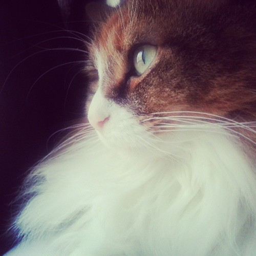Dat glamor shot. #cat #calico #cute #Pancake