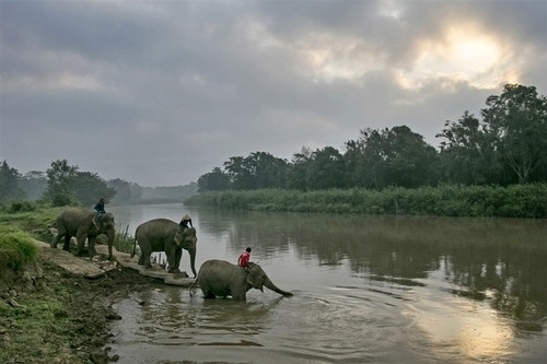 fotojournalismus:  Thai elephants head to the river for an early morning bath at an elephant camp at the Anantara Golden Triangle resort on Dec. 10, 2012. The resort is the production site for Black Ivory Coffee, a brew made from beans plucked from elephant dung. [Credit : Paula Bronstein/Getty Images]  Bet you didn't think that's where the description was going, did you?