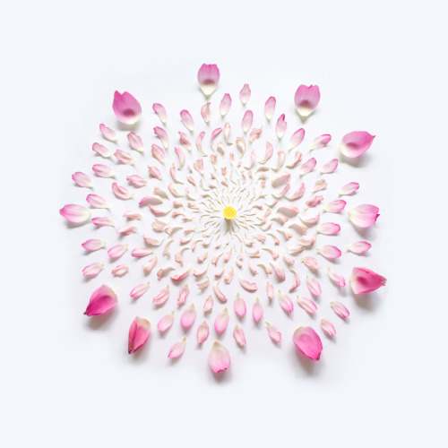 laughingsquid:  Exploded Flowers, Photos of Artfully Disassembled Flowers