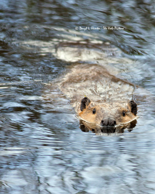 funkysafari:  Beaver, Grand Teton National Park by Daryl L. Hunter