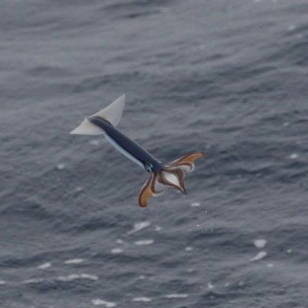 lovesdayoff:  astronomy-to-zoology:  Flying squid yeah you heard me flying squids several species of squid have evolved a tactic to evade predators and conserve energy, they have evolved the ability to fly! This is not true flight however but  gliding similar to a flying fish or squirrel. The squid though has a anatomical design that the fish and mammals don't, it has jet propulsion. Although not too much is known about how these molluscs are able to get out of the water and actually propel themselves, from what is known the squid seem to propel themselves by forcefully shooting water out of of their siphons, they are able to cover great distances by doing this with squids being recorded flying for 160 feet above the waters surface. It is thought that this tactic evolved for two reasons, one being out of the water saves the squid from any predators chasing it underwater (like flying fish do), and secondly the squid can move alot faster flying as they do when swimming (5x as fast). being able to move faster allows the animal to conserve energy during migration. this is easily one of the most awesome things ever! Source,Source  Soon…