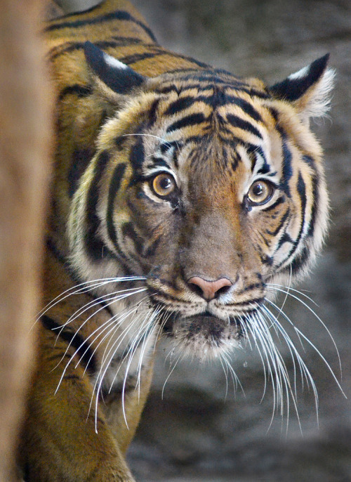 llbwwb:  For the tiger lovers:) Opening day jitters (by Stinkersmell)