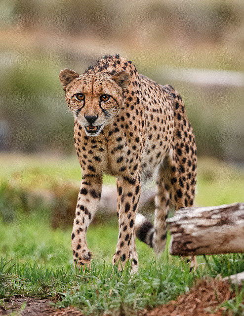 Cheetah by day1953 Cheetahs are the only cats that, while sprinting, can turn in midair to follow their prey.