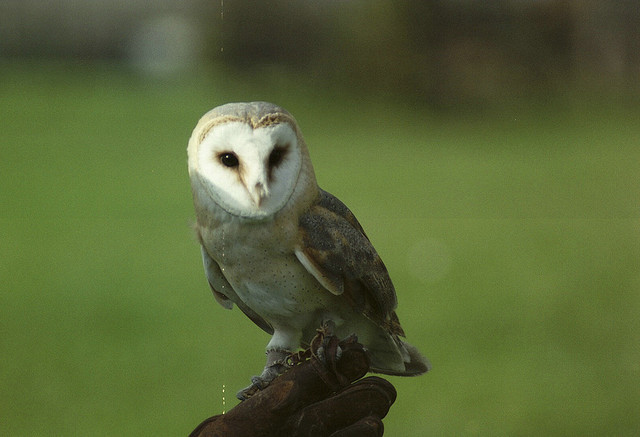 arquerio:  Barn Owl (?) by Andy39Smith on Flickr.