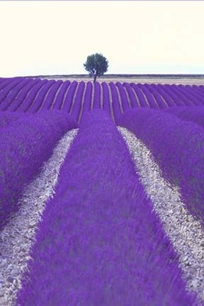 France Lavender Field and Lone Tree
