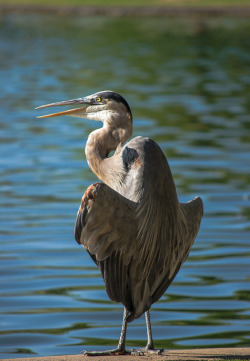 Great Blue Heron, basking