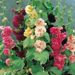 crissyenchanted:  double hollyhocks  whoa. someday i will have a place where i can plant a whole bunch of hollyhocks