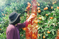 theonlymagicleftisart:  mkhastoo:  The orange orchard.  (Growing up in the West I would always see or hear a stereotypical dark side of my country. I like to show a normal side so to speak. I have started working on a project where I hope to show a another side of Iran/Iranians. All my images are taken with film.) Links: http://www.maryamkhastoo.com/ http://www.facebook.com/maryamkhastoophotography http://www.flickr.com/photos/maryamkhastoo http://mkhastoo.tumblr.com