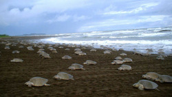 mothernaturenetwork:  Costa Rica has a sea turtle egg-poaching problem Poachers steal the eggs from beaches and sell them as aphrodisiacs, despite the eggs being potentially harmful to humans.