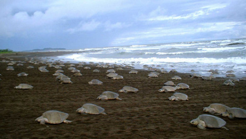 Costa Rica has a sea turtle egg-poaching problem Poachers steal the eggs from beaches and sell them as aphrodisiacs, despite the eggs being potentially harmful to humans.