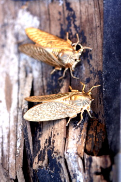 "{things of the heart.} .the cicadas are returning! these beautiful insects are a deep nostalgia for my southern childhood. (though, i dislike that the article calls them ""annoying [to] humans with their constant chirping"" and ""incessant sound."" cicadasong. heartsong.)"