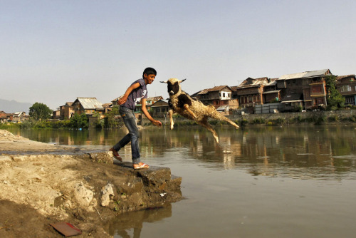 fotojournalismus:  A boy throws a sheep into the waters of Jhelum river to wash it, in Srinagar on May 20, 2013. [Credit : Danish Ismail/Reuters]