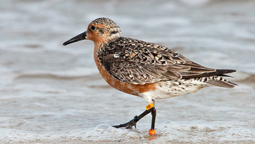 "dendroica:  Return of red knot B95 to Delaware heartens researchers  B95 is a red knot, one of the most imperiled shorebirds now arriving on Delaware Bay. A human-size statue celebrating his life has been erected at Mispillion Harbor in Delaware. Another is being built in Rio Grande, Argentina, where many of his kind spend the winter. His unlikely life was even celebrated in a book, Moonbird: A Year on the Wind With the Great Survivor B95. Written by Nature Conservancy staffer Phillip Hoose, it won numerous awards and is in its third printing. Researchers figure B95 is at least 20 years old - the oldest of his kind, as far as ornithologists know…. Years ago, red knots numbered nearly 100,000. But their population plummeted to about 15,000 at one point, and it has since rebounded a little. To study the birds and learn what was happening - the harvest of crabs was eventually blamed, and restrictions were instituted - scientists began capturing the birds and banding them. Then they followed the birds through the hemisphere to known stopping points. Scanning the flocks and noting the band colors (designating where the bird was captured) plus the number (an individual's ID), scientists could learn more about where the birds go and how long they live. B95 kept popping up. Last year, however, was a nail-biter. The teams of researchers from around the world who converge on the bay every May to study shorebirds had almost given up hope of seeing him when Patricia Gonzalez, an Argentine researcher, finally spotted him on May 28. B95 still lived…. On Thursday, a team of spotters was at Mispillion Harbor. Nigel Clark, head of projects for the British Trust for Ornithology, saw a bird with a distinctive orange band. It said B95. Other red knots from South America are still arriving, so maybe the intrepid old bird has learned a thing or two. ""It might be an indication of its knowledge of the system and migration, having lived so long,"" said Kevin Kalasz, a wildlife biologist with the Delaware Division of Fish and Wildlife.  (via philly.com)"