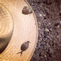 Somehow these snails found my dad's hat. Weirdos.