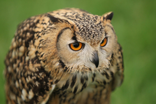 daily-owls:  Pharoah Eagle Owl IMG_6396 by Rob177 on Flickr.