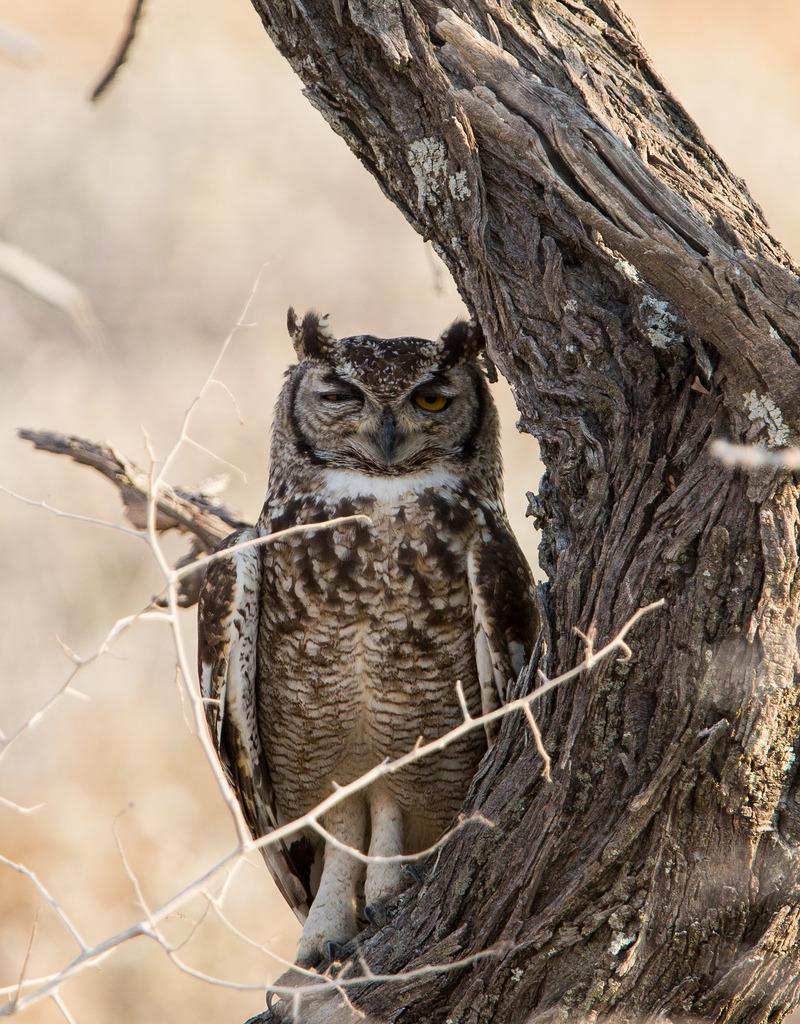 Spotted Eagle Owl by Jens Hyldstrup Larsen on Flickr