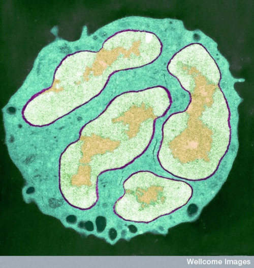 heythereuniverse:  White blood cell | wellcome images