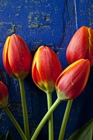 ~~ Four orange tulips ~~