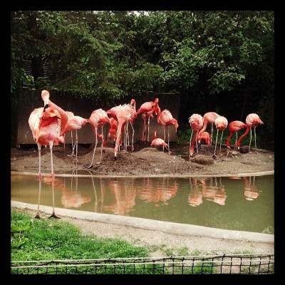 Flamingos! #columbuszoo
