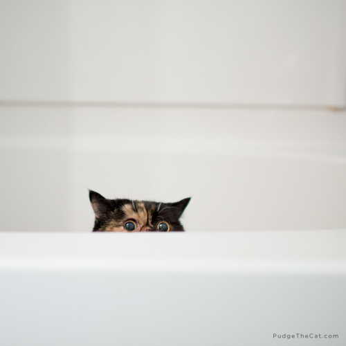 pudgethecat:  Pudge in a Tub