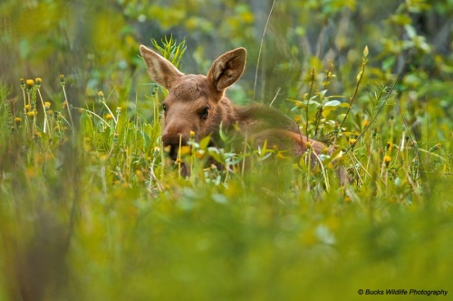 This is a baby moose and I want to pet its ears and raise it into adulthood and then perhaps ride it into the sunset.