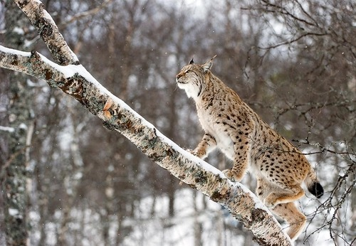 credit: Roger Eritja/Getty Images The Eurasian lynx is found in European and Siberian forests, as well as in South and East Asia. (via Photo of the Day: Lynx Strolling Up A Tree : TreeHugger)