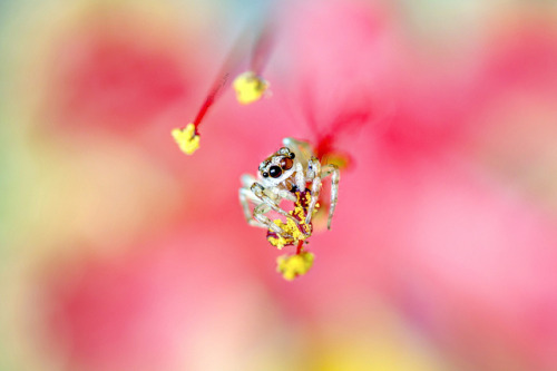Didn't know spiders can be such cute little things.  Jumping Spider by brianfc on Flickr