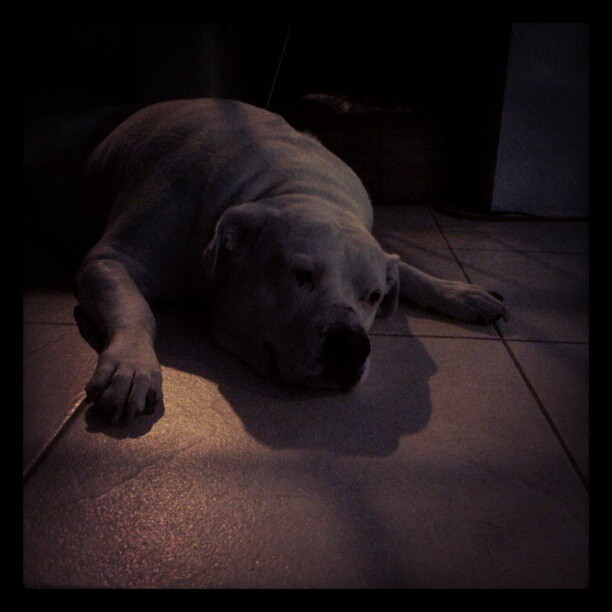 Good night moon #pitbull #bulldog #Miami  @rmontero82