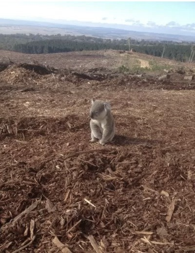A koala bear returning to his home forest in Australia only to discover it has been cut down by loggers…. The koala has since been relocated to a koala sanctuary by wildlife service authorities.