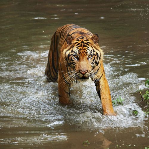 llbwwb:  For the Tiger lovers:) by Irawan Subingar