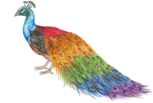 pride pride month pride2018 peacock birds rainbow art artists on tumblr traditional drawing traditional art original art watercolor painting drawing Illustration