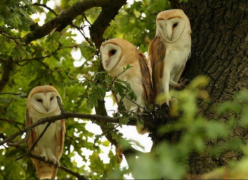 forest-faerie-spirit: {Barn Owls in The Oak} by {Mike Rae} #owls