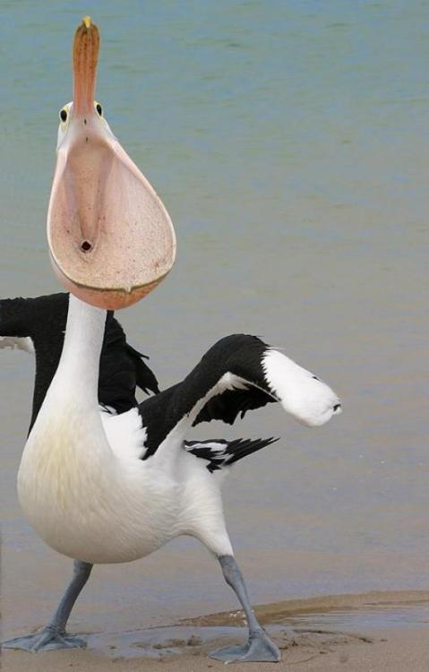 wtfevolution:  This pelican looks like a urinal. Go home, evolution, you are drunk.