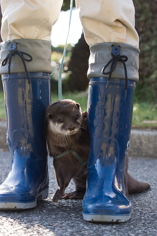 dailyotter:  Otter Is Shy and Hides Behind Keeper's Legs Thanks, kashiwaya920!