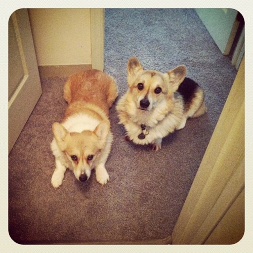ridiculousness x 2. #jillypants #bevanator #corgi