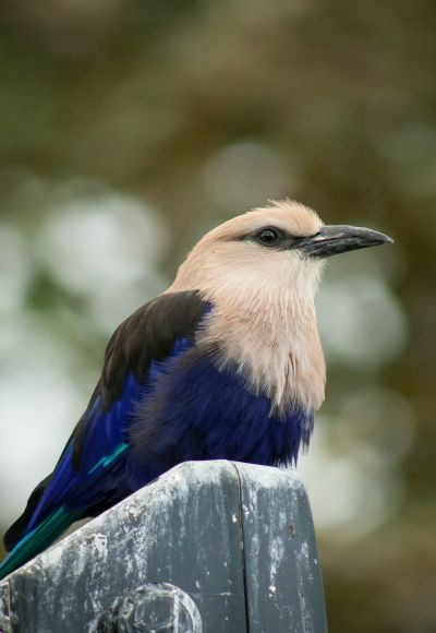 the-old-breeze:  Blue-bellied Roller - National Aviary in Pittsburgh