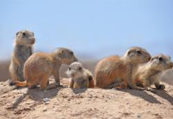 Prairie dog pups by Dawn Hagler.