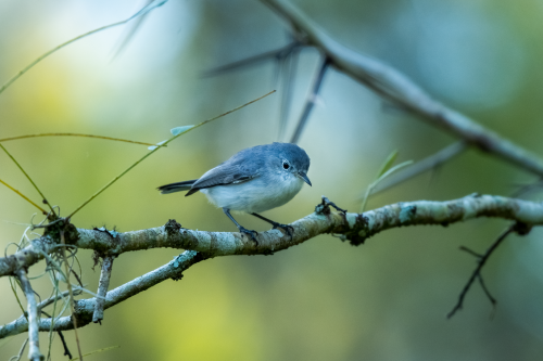 The Blue-Gray Gnatcatcher is yet another example of an indicator species in the fight against climate change. Over the past twenty-five years, Gnatcher populations have seen a push north in their range of 200 miles following rising global temperatures and an increase in population. FIND MORE BIRDS HEREINSTAGRAMCurrently, Blue-Gray Gnatcatchers are year-round residents in Florida; however, breeding pairs are not as common in the southern part of the state.Inspiration: Guilty Pleasure - Fallen Rose, GrecoTaken: Tampa, FL 11-11-19 832AMNikon D7200 200-500mm f/5.6 #birds#bird#birding #birds of north america #bird photography#bird watching#nature#nature photography#wild#wildlife#wildlife photography#blue#gray#green #blue gray gnatcatcher #florida#everglades#swamp#nikon#natgeo