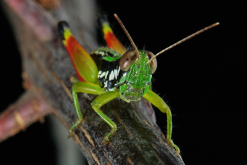 insectlove:  sinobug: Juvenile Grasshopper (Acrididae). Pu'er, Yunnan, China. See more Chinese grasshoppers and crickets on my Flickr site HERE…..