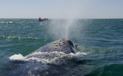 animals-animals-animals:  Gray Whale (by John B)