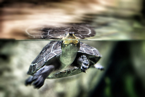 theanimalblog:  Refraction of the Terrapin. Photo by Griff~Ography