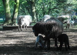 Ewe feeding her twins - one white, one black