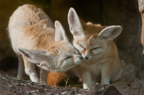 animalkingd0m:  Fennec Kiss by Andrew Bertram