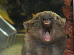 ineedwombat:  my yawn is gooood yawn.  wombat [HIROKI] at kanazawa zoo in yokohama, japan. he is 27 years old.  2013.3 撮影