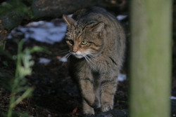 Scottish Wildcat by Rob_Brooks on Flickr.Chestnut Centre 28DEC09Chestnut Centre, Chaple-en-le-Frith, Derbyshire